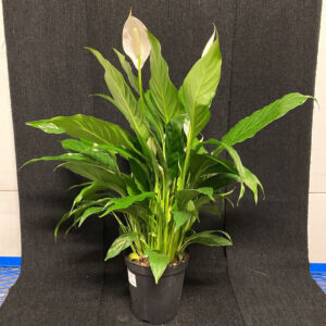"6"" SPATHIPHYLLUM - PEACE LILY"